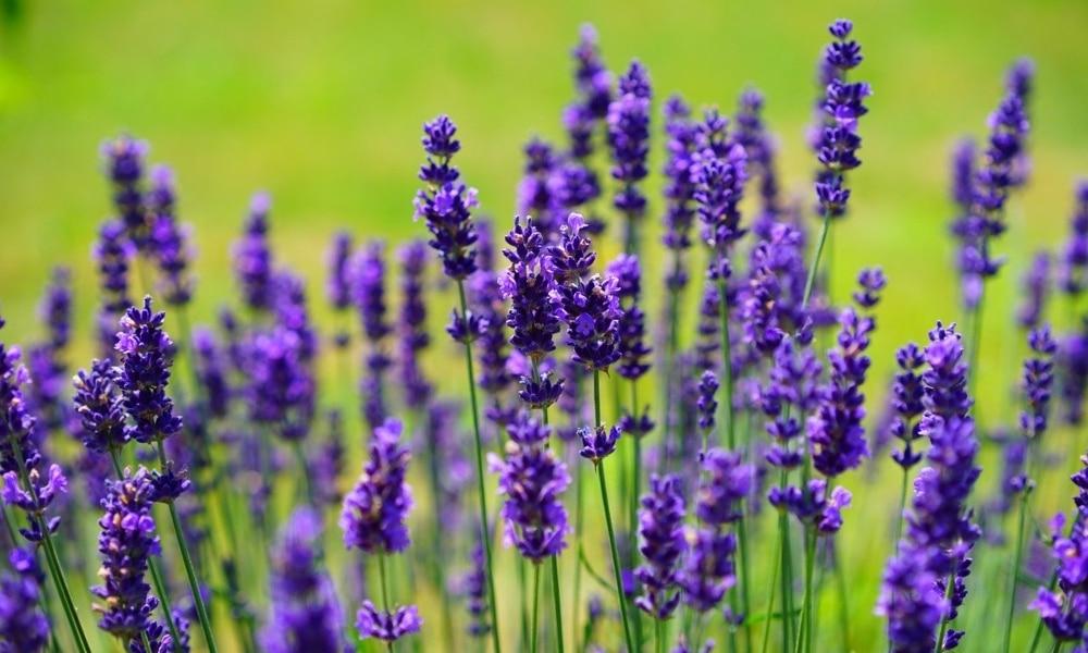 Plantas medicinales para piel atópica